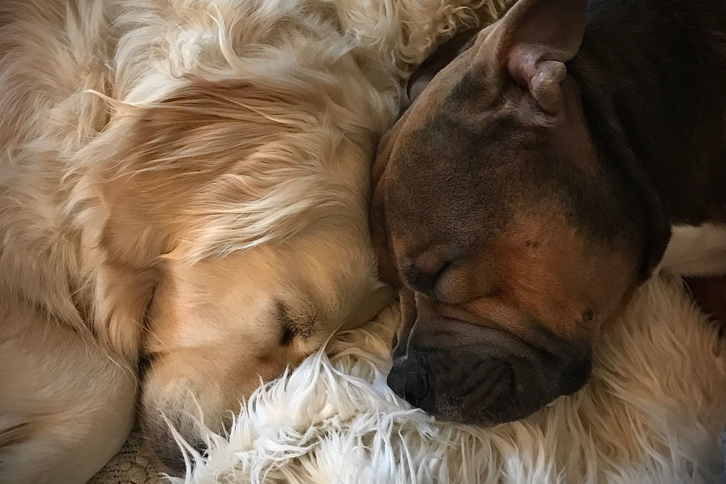 Two dogs laying down touching head to head